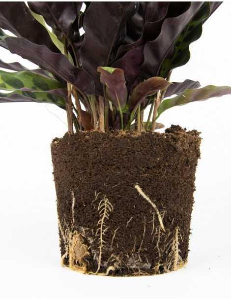 planta-ubud