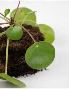 planta-bohol