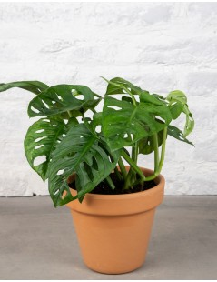 Marbella - Monstera Adansonii
