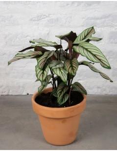 planta-nairobi